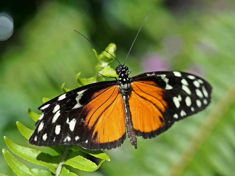 Butterfly Photograph - Tiger On The Leaf by Atchayot Rattanawan