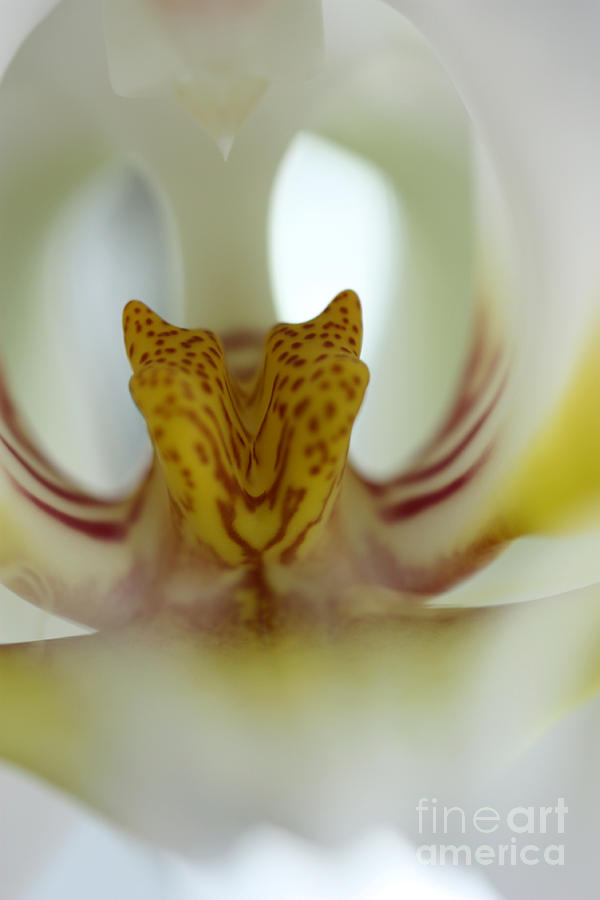 Tiger Orchid Photograph - Tiger Orchid by David Bearden
