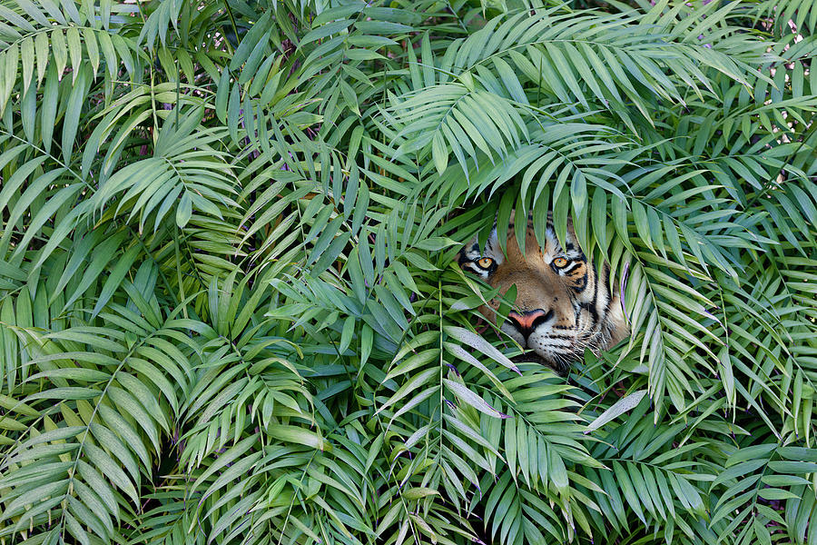 Tiger Peering Through Dense Forest Photograph by John M Lund Photography Inc