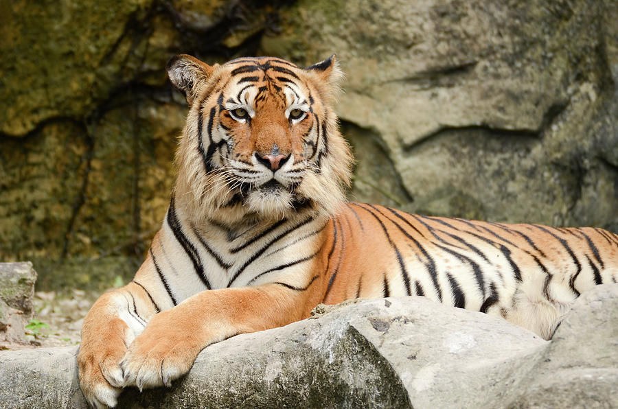 Tiger Photograph by Pong6400