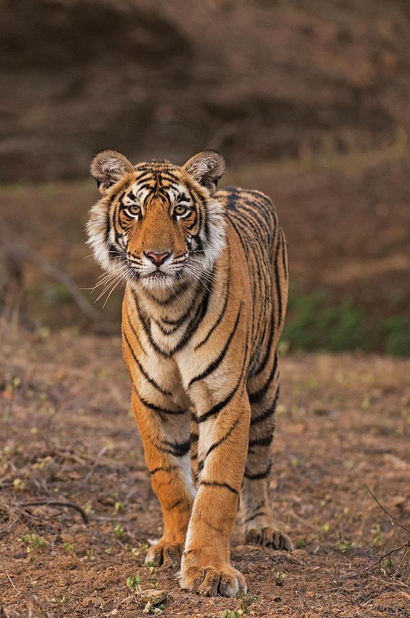 Tiger Portrait Photograph by Aditya Singh