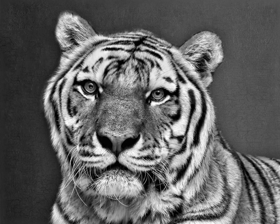 8fe4ea19c Tiger Photograph - Tiger Portrait - Black And White by Nikolyn McDonald