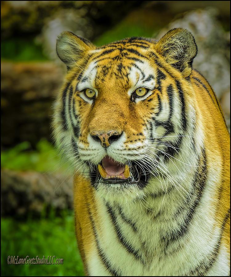 Tiger Photograph - Tiger Stare by LeeAnn McLaneGoetz McLaneGoetzStudioLLCcom