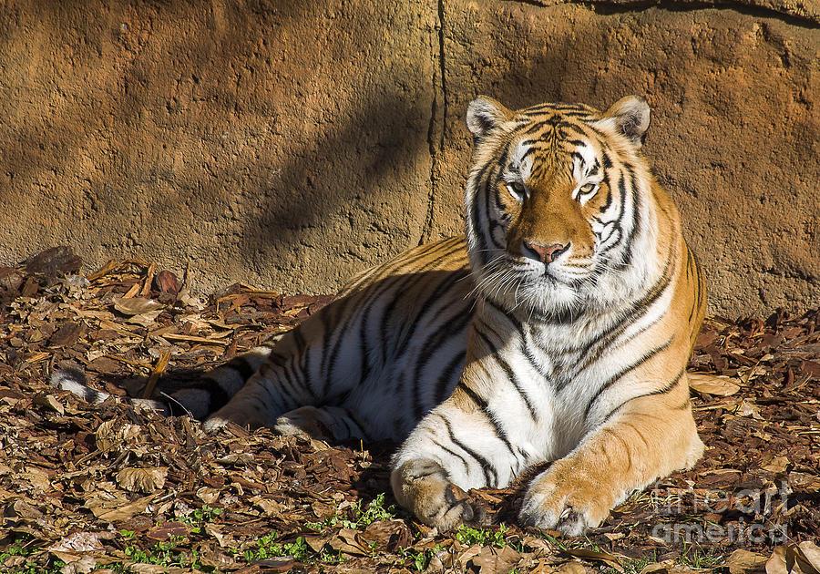 Canberra Photograph - Tiger by Steven Ralser