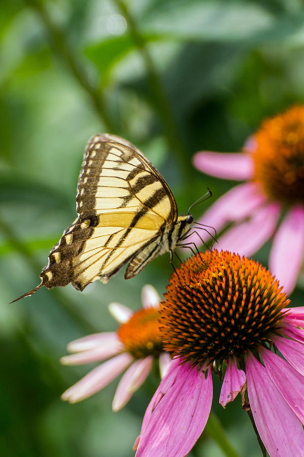 tiger striped butterfly vertical on Cone Flower by Photographic Arts And Design Studio