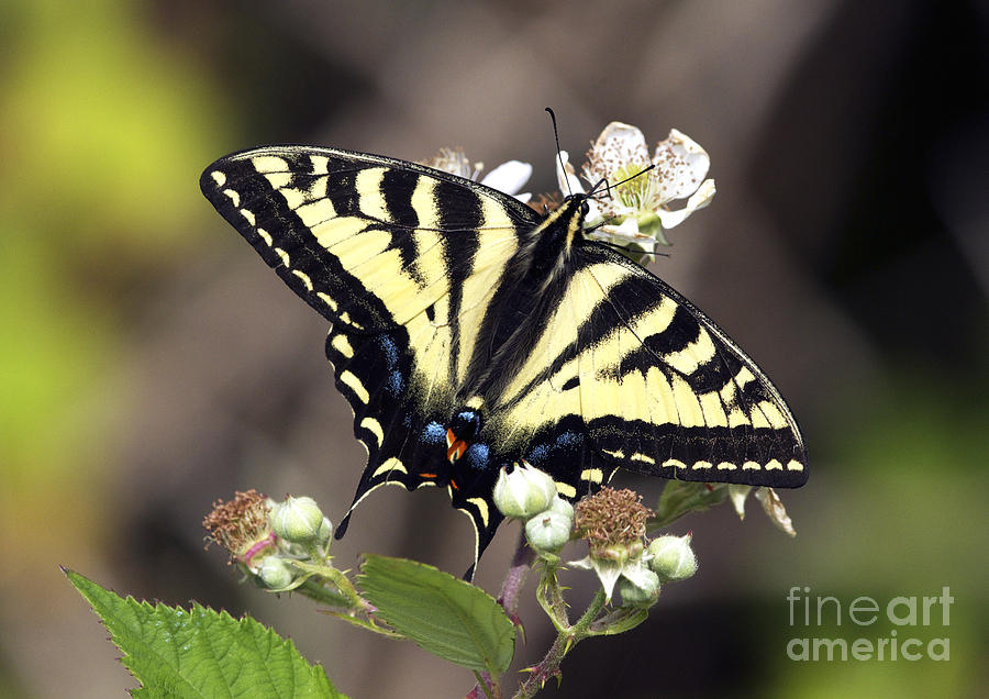 Tiger Swallowtail Butterfly Photograph - Tiger Swallowtail Butterfly 2a by Sharon Talson