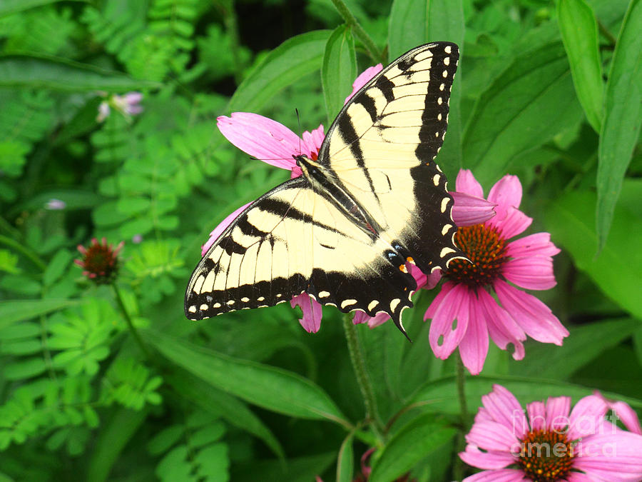 Swallowtail Photograph - Tiger Swallowtail Butterfly by James Brunker