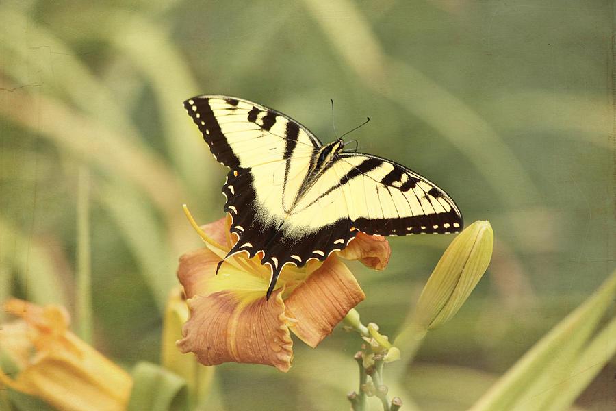 Tiger Swallowtail Butterfly Photograph - Tiger Swallowtail by Kim Hojnacki