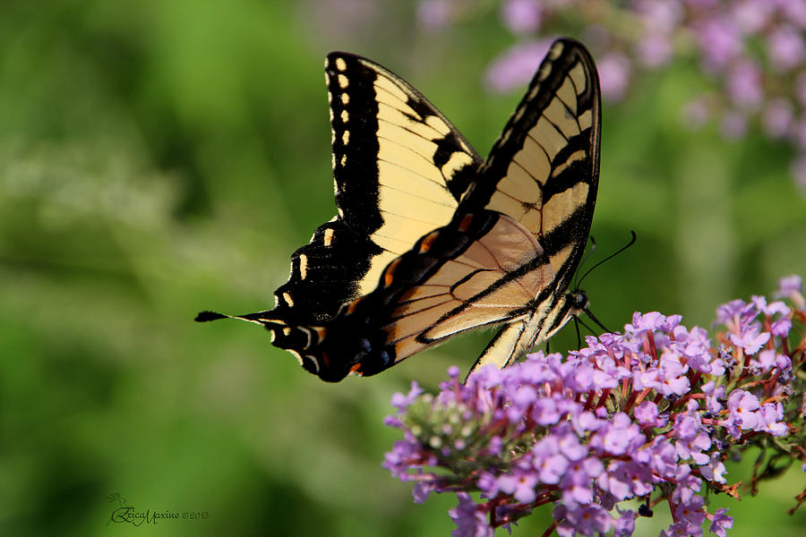 Butterfly Photograph - Tiger Swallowtail On Butterfly Bush 2 - Featured In comfortable Art And flower W Co Macro Groups by EricaMaxine  Price