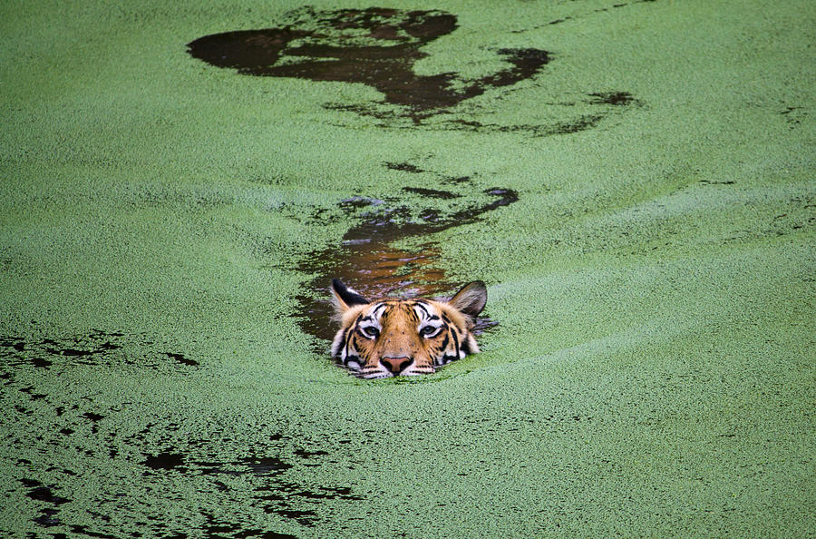 Tiger swimming in water with growing algae, Odisha, India Photograph by Manvendra Chauhan