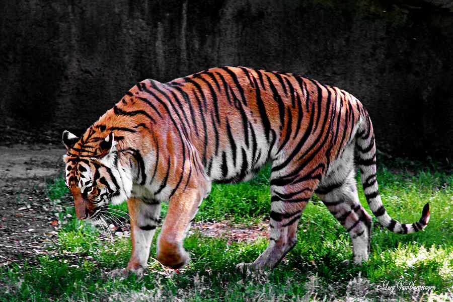 Tiger Photograph - Tiger Tale by Lucy VanSwearingen