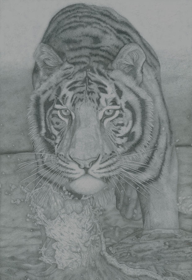 Tiger Drawings Drawing - Tiger Through Water by Rich Colvin