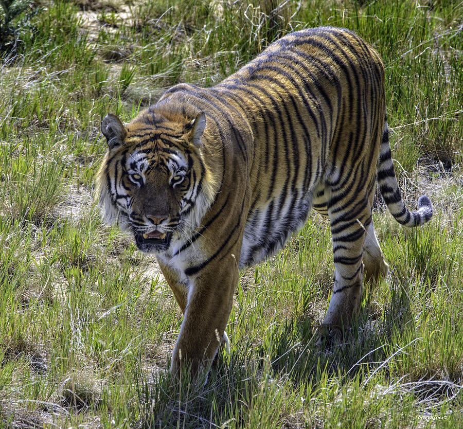 Tiger Photograph - Tiger by Tom Wilbert