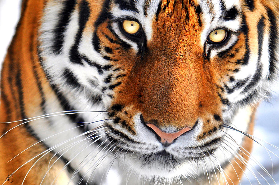 Tiger Photograph - Tiger Up Close by Emily Stauring