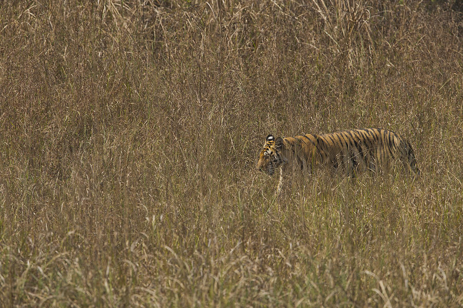 Tiger Walking In Grass Photograph by Doug Cheeseman