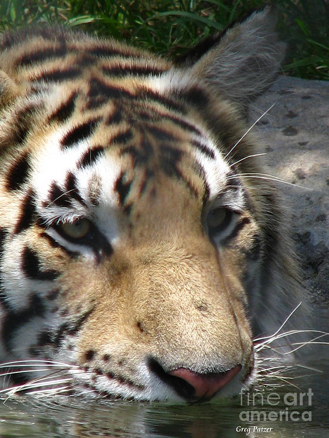 Patzer Photograph - Tiger Water by Greg Patzer
