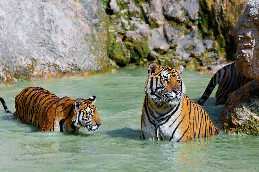 Animal Photograph - Tigers In Water, Indochinese Tiger Or by Peter Adams