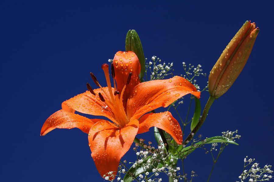 Tiger Lily Photograph - Tigress by Doug Norkum
