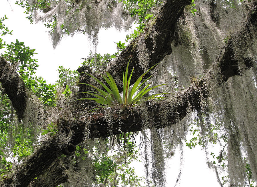 Tillandsia by Peg Urban