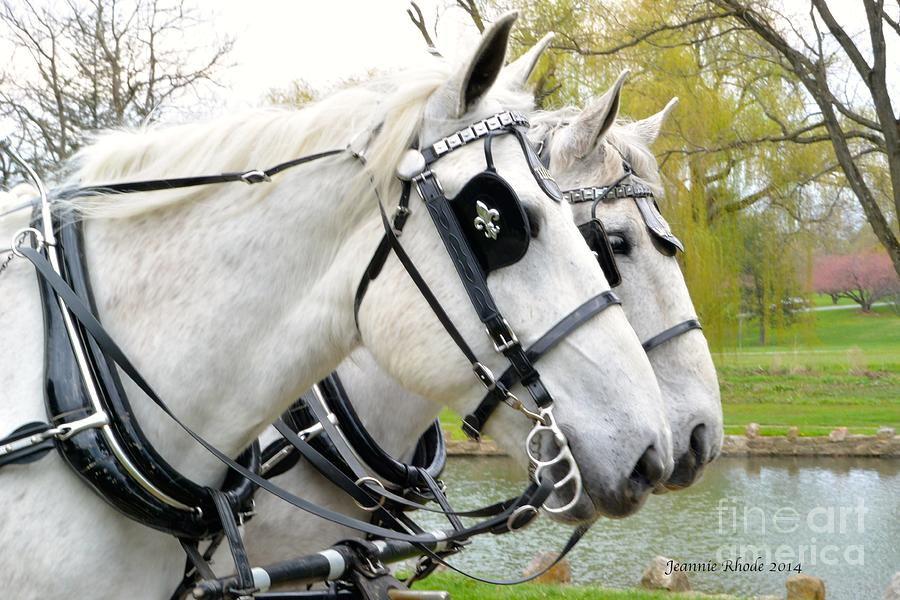 White Horses Photograph - Tillie And Bruce #2 by Jeannie Rhode