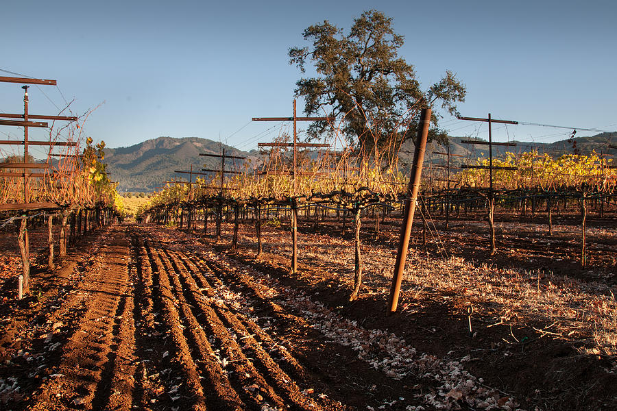 Vineyard Photograph - Tilling The Vineyards by Kent Sorensen