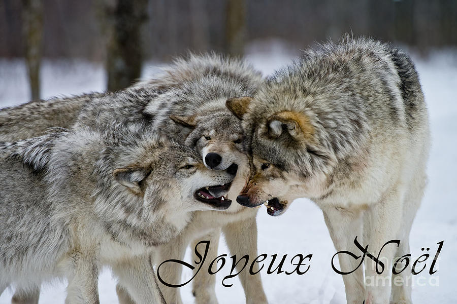 Timber Wolf Christmas Card French 13 Photograph by Wolves Only