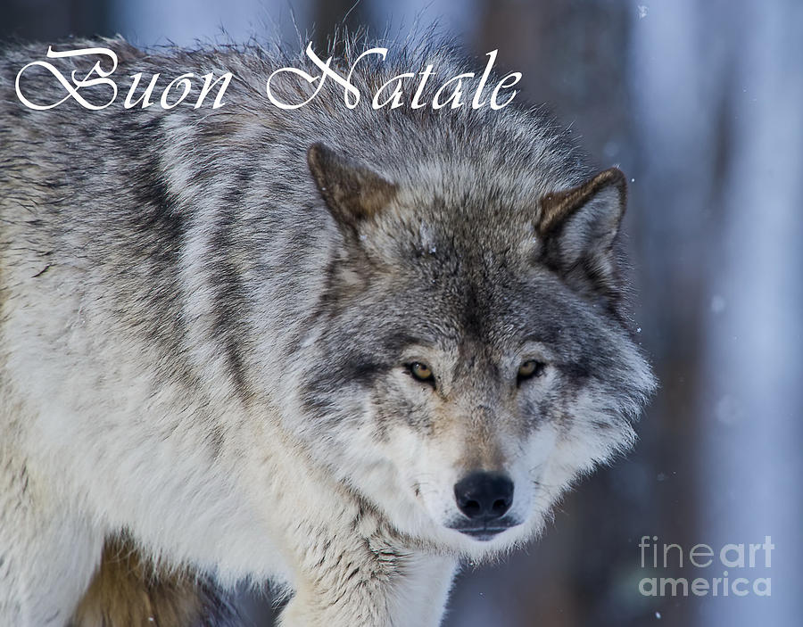 Timber Wolf Christmas Card Italian 18 Photograph by Wolves Only