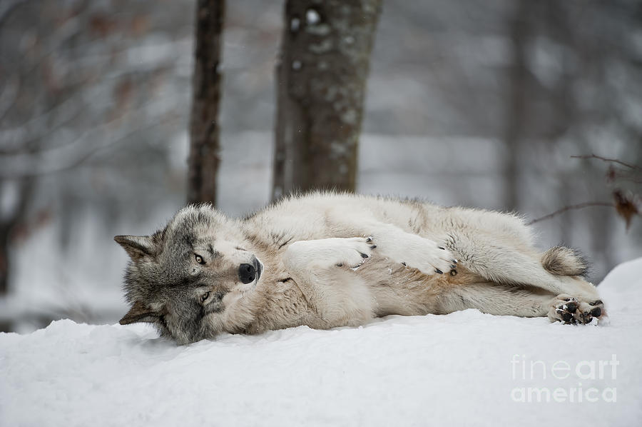 timber wolf in winter photograph by wolves only. Black Bedroom Furniture Sets. Home Design Ideas