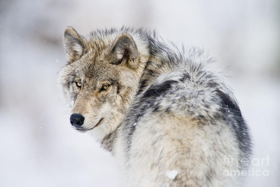 Timber Wolf Photograph - Timber Wolf Pictures 1268 by World Wildlife Photography