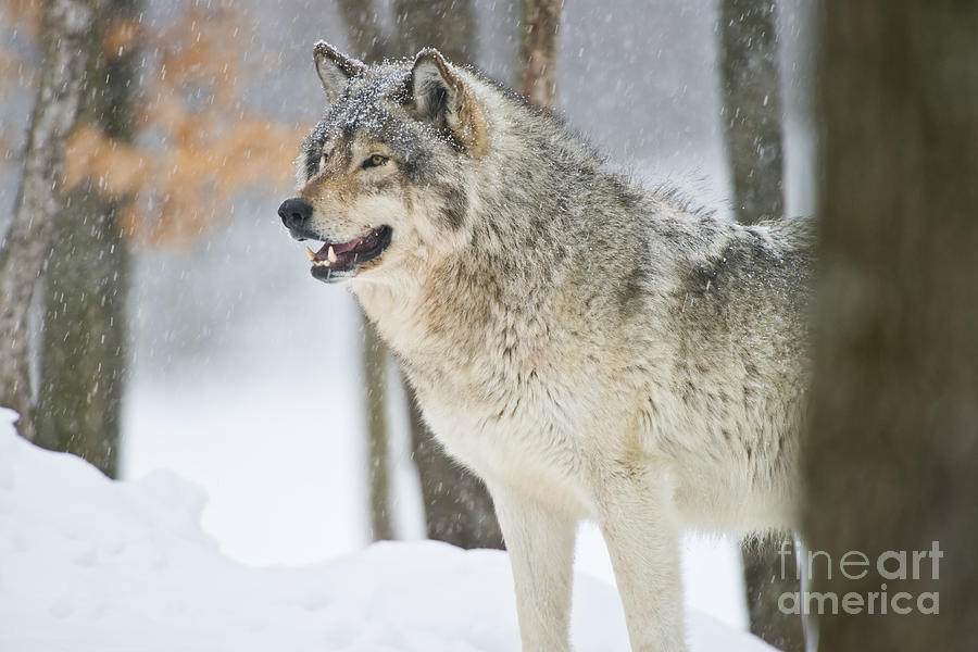 Timber Wolf Photograph - Timber Wolf Pictures 1302 by World Wildlife Photography
