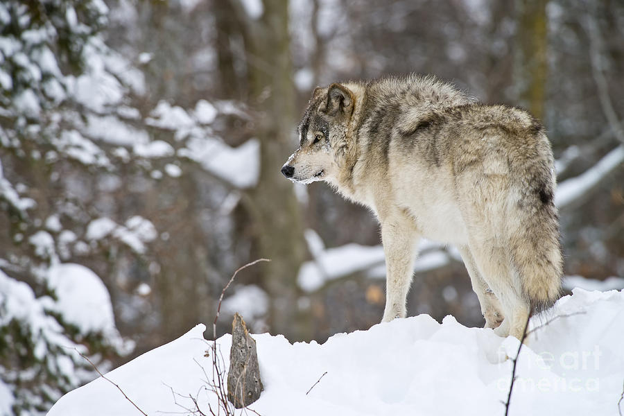 Timber Wolf Photograph - Timber Wolf Pictures 1306 by World Wildlife Photography