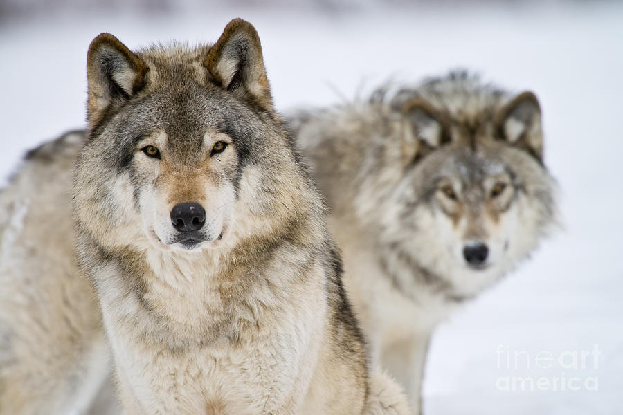 Timber Wolf Photograph - Timber Wolf Pictures 1312 by World Wildlife Photography