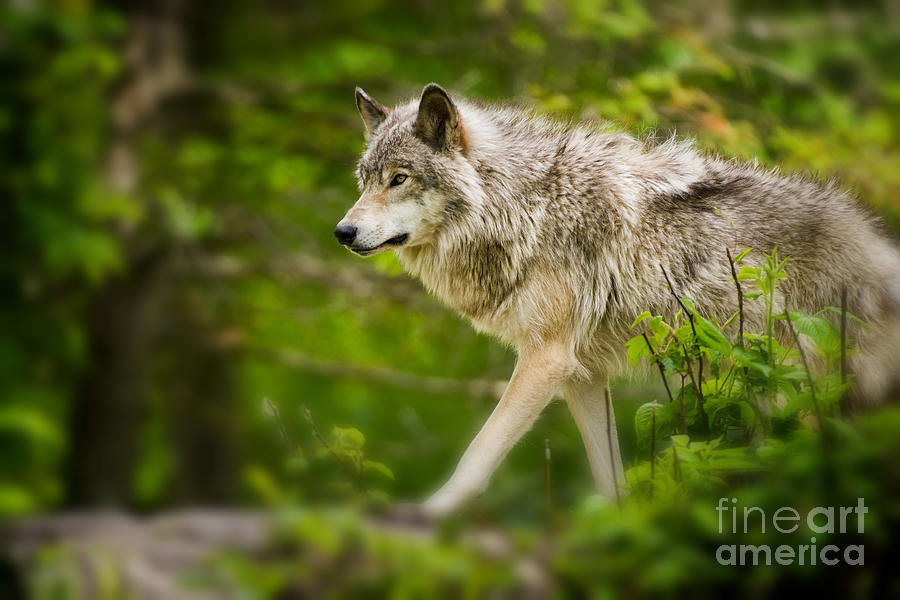 Timber Wolf Photograph - Timber Wolf Pictures 1329 by World Wildlife Photography