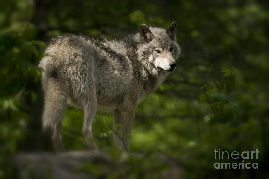 Timber Wolf Photograph - Timber Wolf Pictures 1336 by World Wildlife Photography