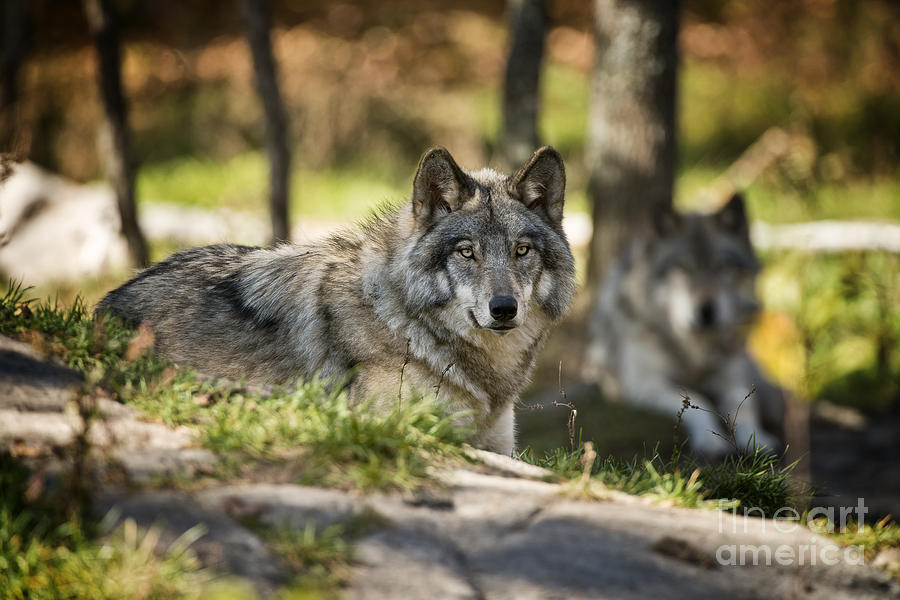 Timber Wolf Photograph - Timber Wolf Pictures 1363 by World Wildlife Photography