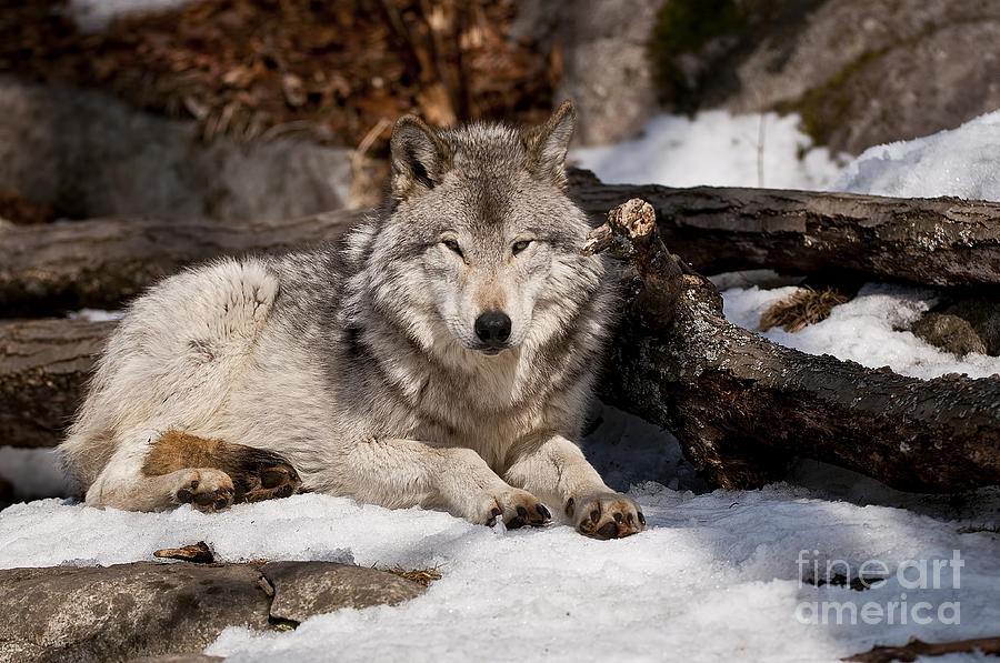 Timber Wolf Photograph - Timber Wolf Pictures 776 by World Wildlife Photography