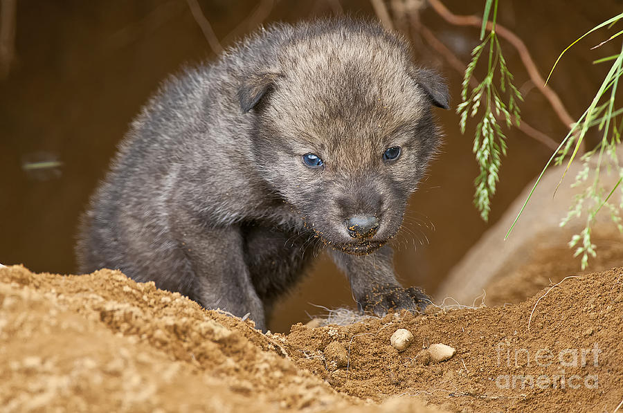 Timber Wolf Photograph - Timber Wolf Pictures 782 by World Wildlife Photography