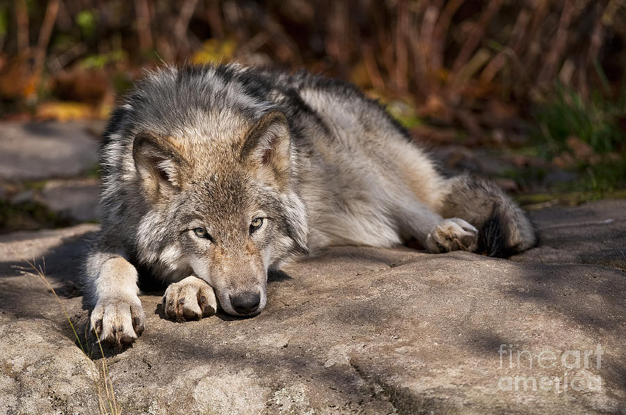 Timber Wolf Photograph - Timber Wolf Pictures 945 by World Wildlife Photography