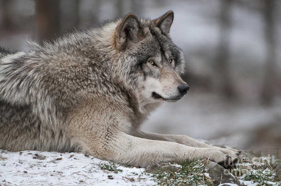 wolf country the pack body postures and social structure - 900×597