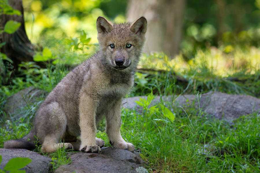 Timber Wolf Puppy Photograph by Adria  Photography