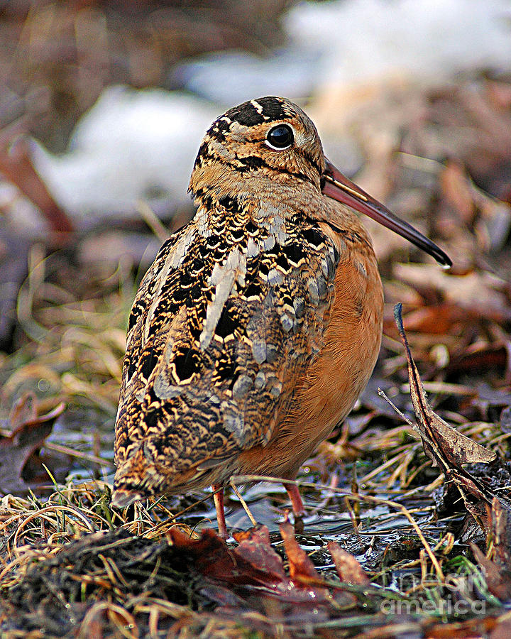 American Woodcock Photograph - Timberdoodle The American Woodcock by Timothy Flanigan