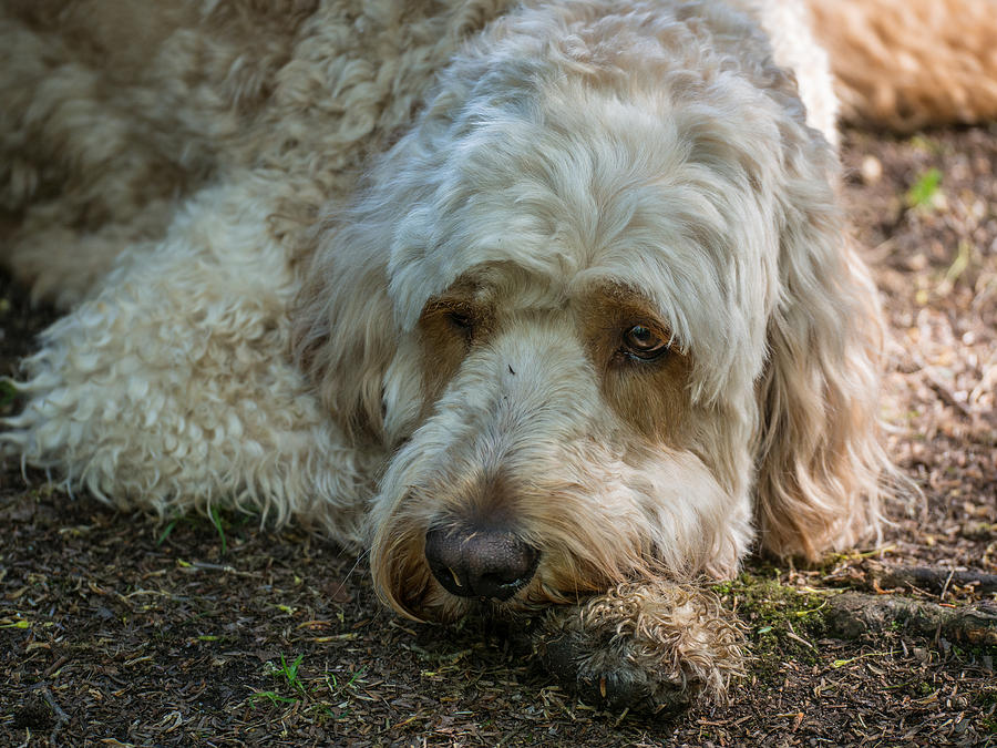 Golden Doodle Photograph - Time To Rest by David Kay