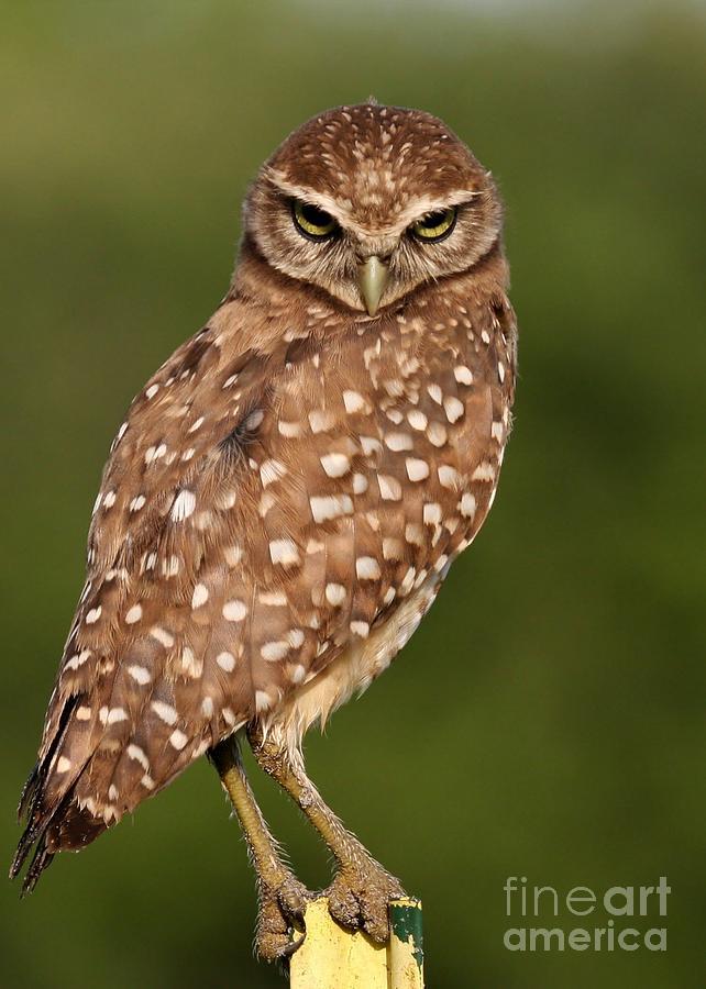 Owl Photograph - Tiny Burrowing Owl by Sabrina L Ryan