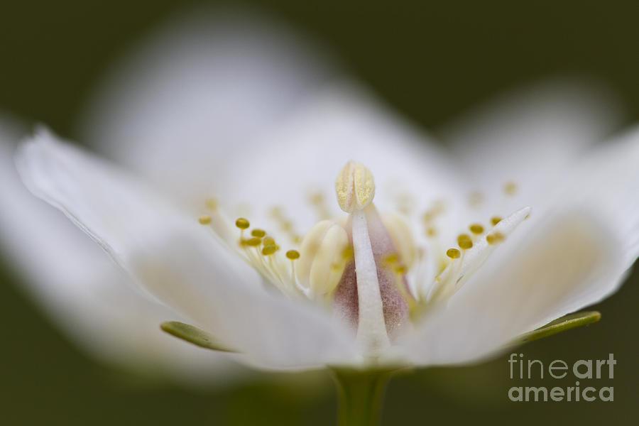 Macro Photograph - Tiny Little Arctic Wildflower by Heiko Koehrer-Wagner
