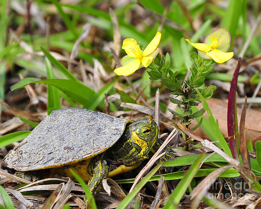 Turtle Photograph - Tiny Turtle Close Up by Al Powell Photography USA