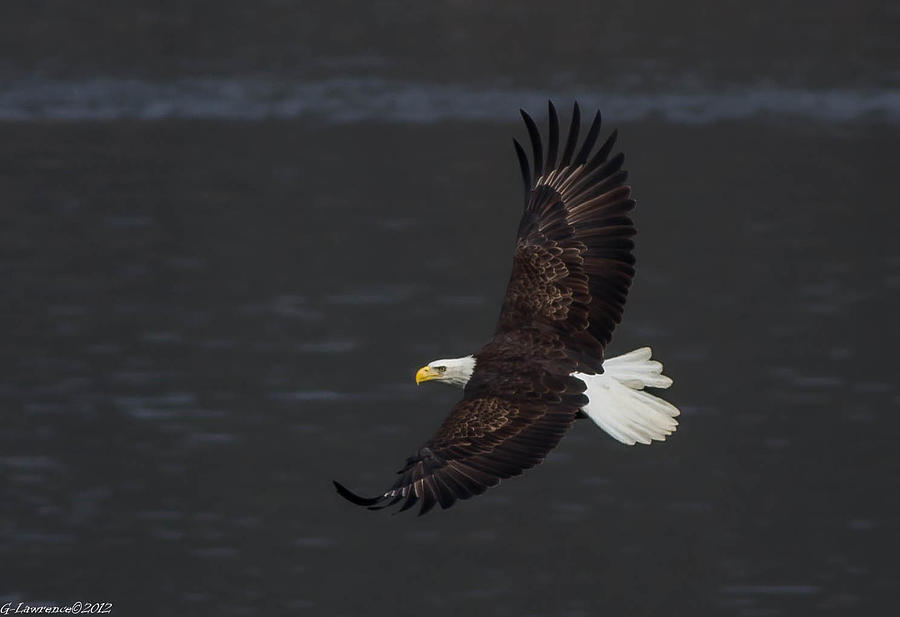American Bald Eagles  Photograph - Tips  by Glenn Lawrence