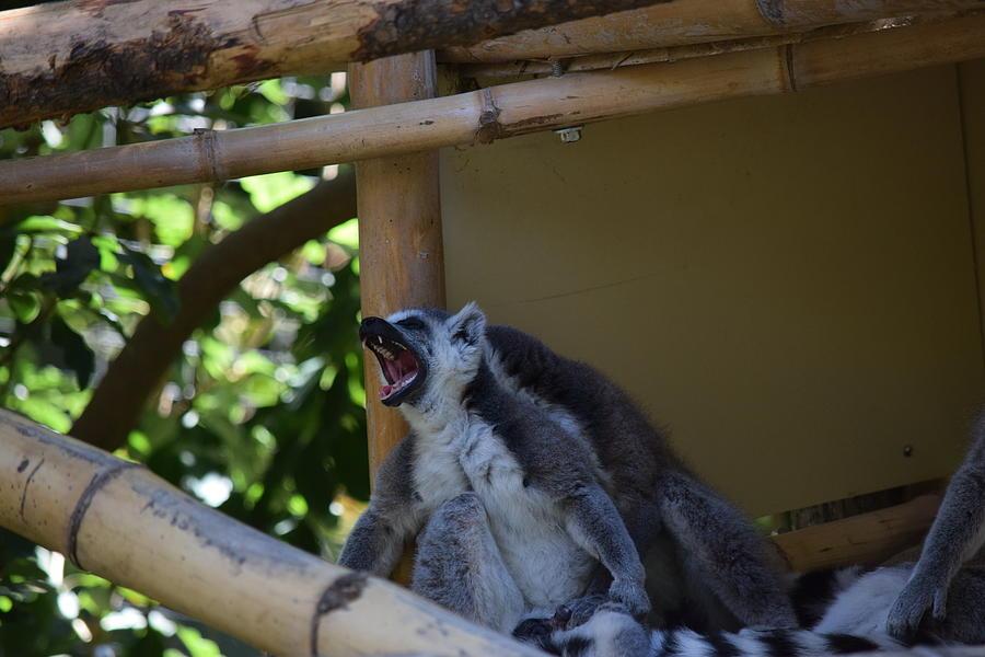 Tired Lemur Photograph