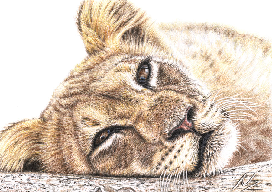 Lion Drawing - Tired Young Lion by Nicole Zeug