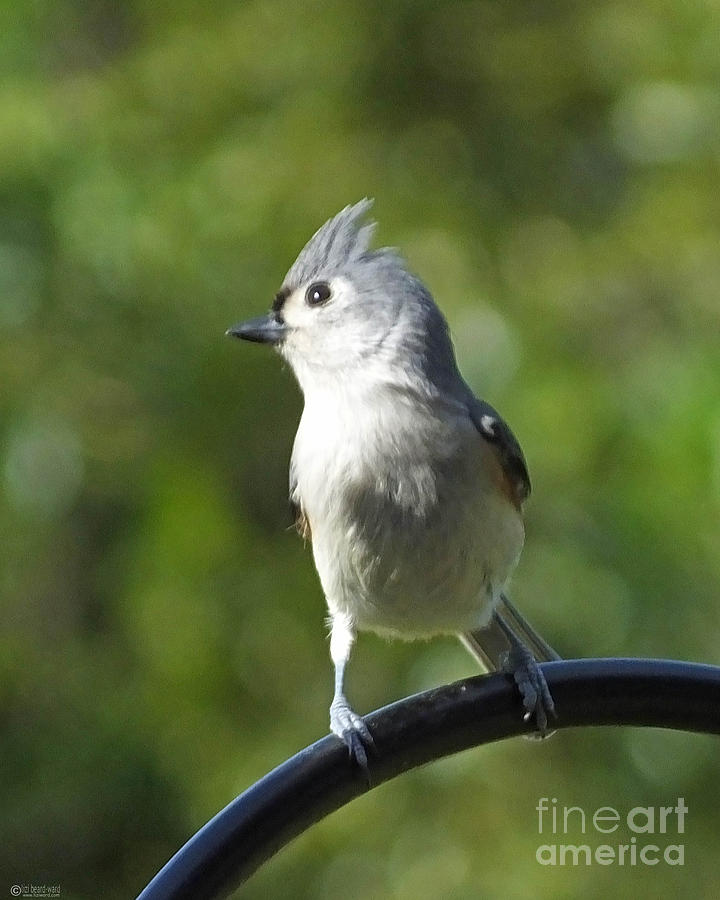 Bird Photograph - Titmouse   by Lizi Beard-Ward
