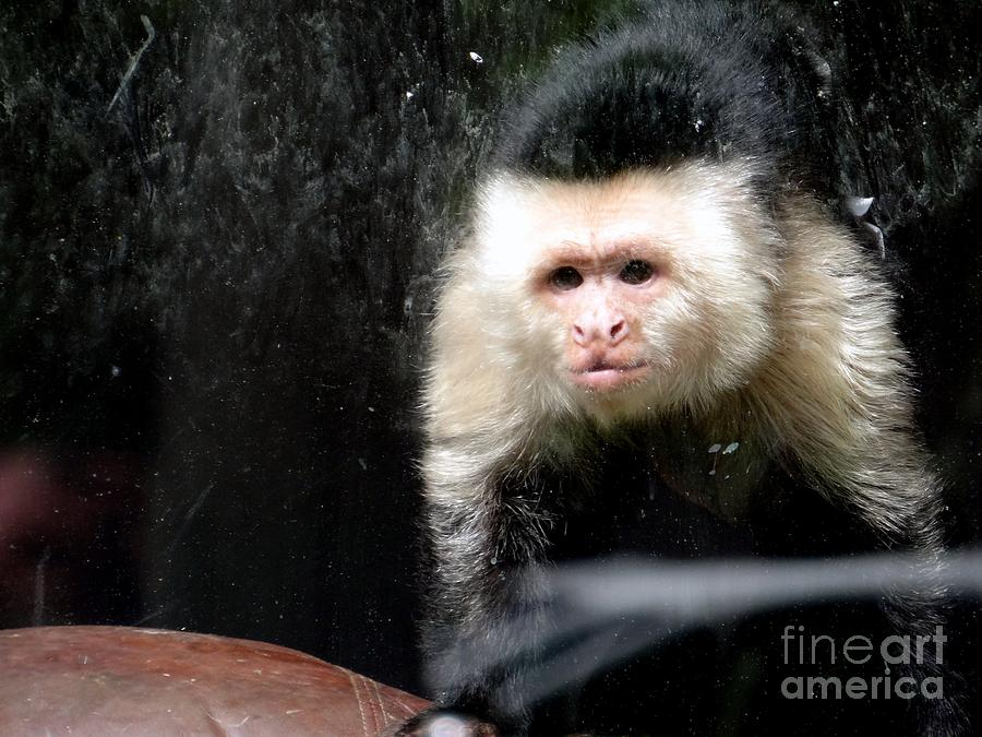 Monkey Photograph - Tito In Window by Ed Weidman